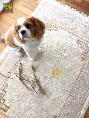 Hund hat auf wertvollen Teppich uriniert
